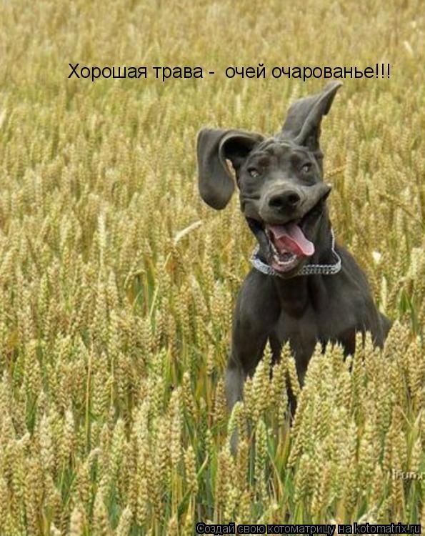 Котоматрица: Хорошая трава -  очей очарованье!!!