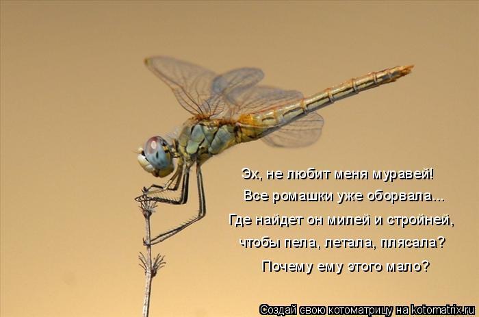 Котоматрица: Эх, не любит меня муравей! Все ромашки уже оборвала... Где найдет он милей и стройней, чтобы пела, летала, плясала? Почему ему этого мало?
