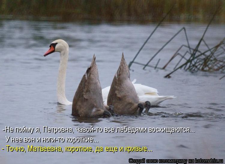 Котоматрица: -Не пойму я, Петровна, чавой-то все лебедями восхищаются... У нее вон и ноги-то короткие... - Точно, Матвеевна, короткие, да еще и кривые...