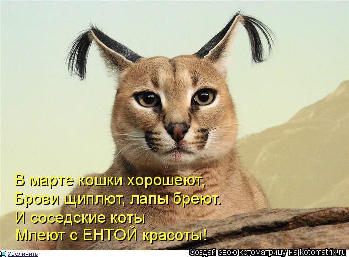 Котоматрица: В марте кошки хорошеют, Брови щиплют, лапы бреют. И соседские коты Млеют с ЕНТОЙ красоты!