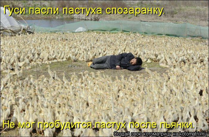 Котоматрица: Гуси пасли пастуха спозаранку. Не мог пробудится пастух после пьянки.