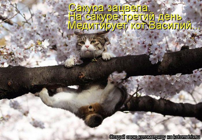Котоматрица: Медитирует кот Василий... На сакуре третий день Сакура зацвела.