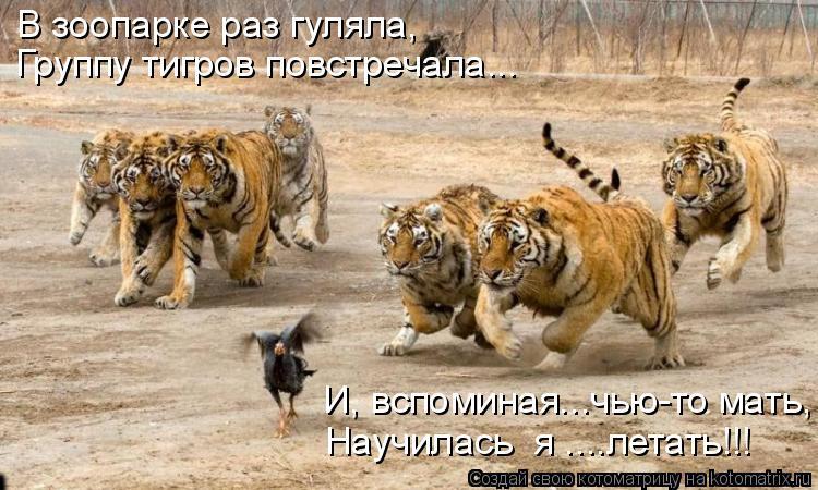Котоматрица: В зоопарке раз гуляла, Группу тигров повстречала... И, вспоминая...чью-то мать, Научилась  я ....летать!!!