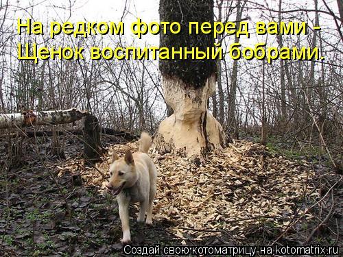 Котоматрица: На редком фото перед вами -  Щенок воспитанный бобрами.