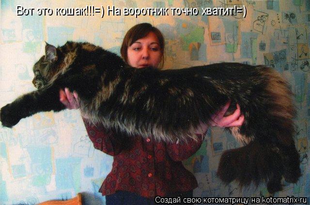 Котоматрица: Вот это кошак!!!=) На воротник точно хватит!=)