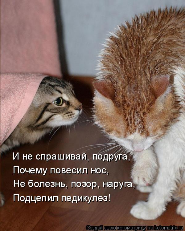 Котоматрица: И не спрашивай, подруга, Почему повесил нос, Не болезнь, позор, наруга, Подцепил педикулез!