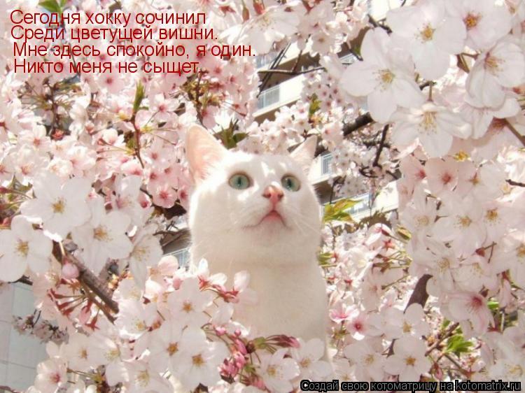 Котоматрица: Сегодня хокку сочинил Среди цветущей вишни. Мне здесь спокойно, я один. Никто меня не сыщет.