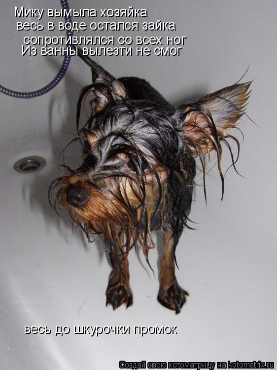 Котоматрица: Мику вымыла хозяйка  Из ванны вылезти не смог  сопротивлялся со всех ног весь в воде остался зайка весь до шкурочки промок