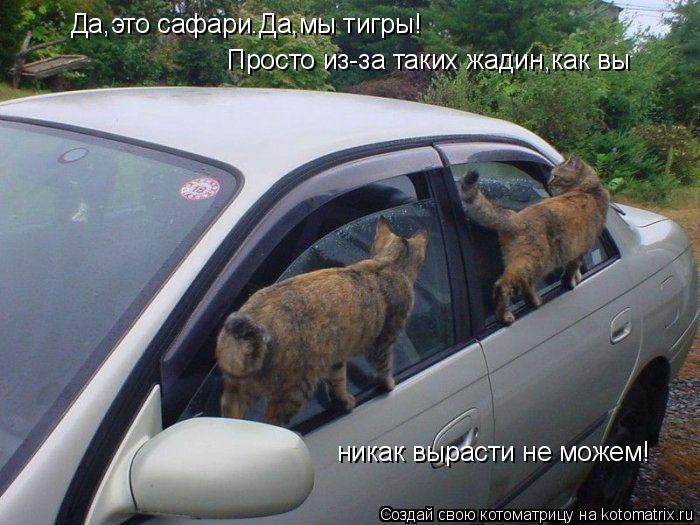 Котоматрица: Да,это сафари.Да,мы тигры! Просто из-за таких жадин,как вы никак вырасти не можем!