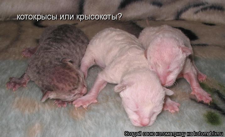 Котоматрица: котокрысы или крысокоты?