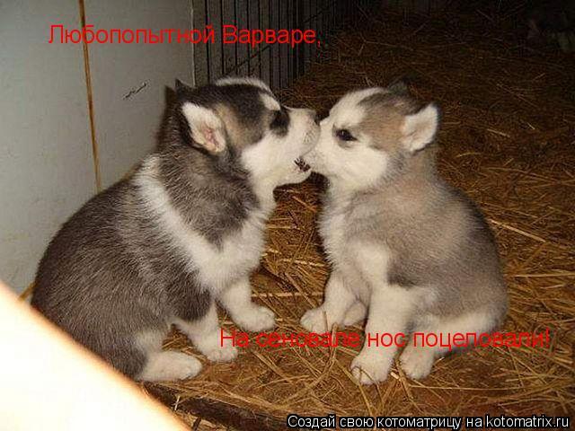 Котоматрица: Любопопытной Варваре, На сеновале нос поцеловали!
