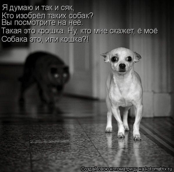 Котоматрица: Я думаю и так и сяк, Кто изобрёл таких собак? Вы посмотрите на неё. Такая это крошка. Ну, кто мне скажет, ё моё Собака это, или кошка?!