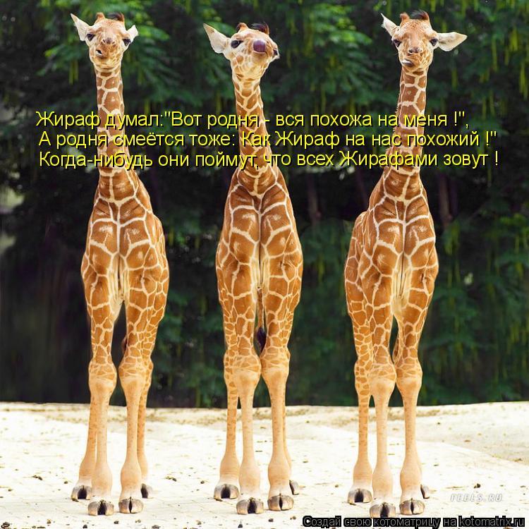 """Котоматрица: Жираф думал:""""Вот родня - вся похожа на меня !"""", А родня смеётся тоже: Как Жираф на нас похожий !"""" Когда-нибудь они поймут, что всех Жирафами зову"""