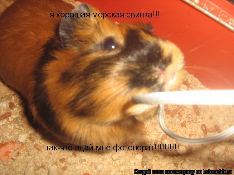 Котоматрица: я хорошая морская свинка!!! так-что адай мне фотопорат!!!!!!!!!!