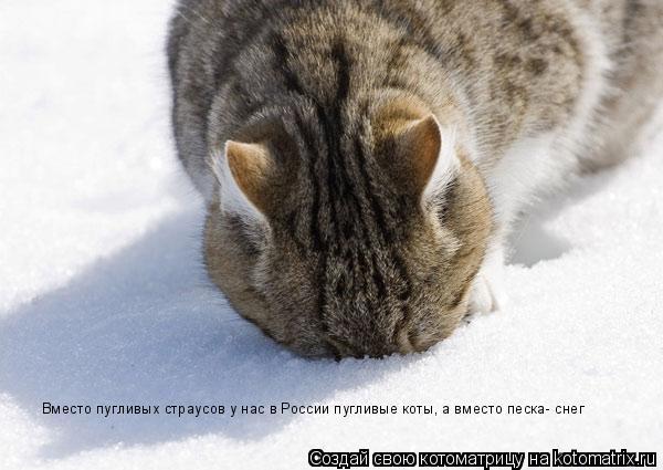 Котоматрица: Вместо пугливых страусов у нас в России пугливые коты, а вместо песка- снег