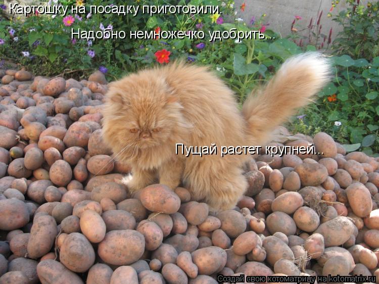 Котоматрица: Картошку на посадку приготовили. Надобно немножечко удобрить... Пущай растет крупней...
