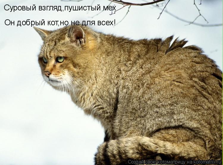 Котоматрица: Суровый взгляд,пушистый мех Он добрый кот,но не для всех!