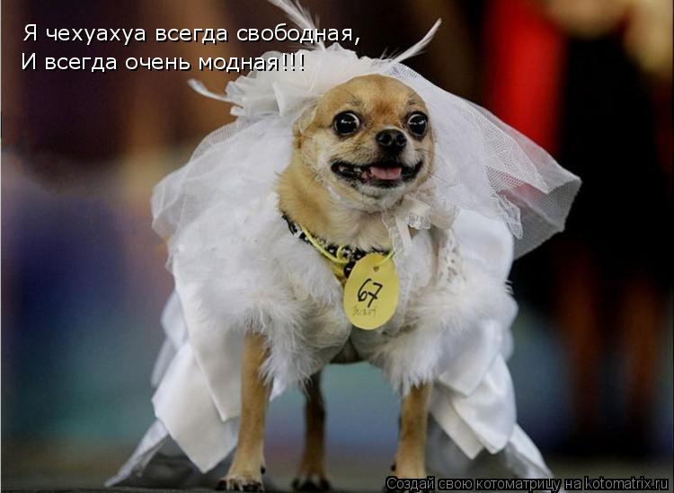 Котоматрица: Я чехуахуа всегда свободная, И всегда очень модная!!!