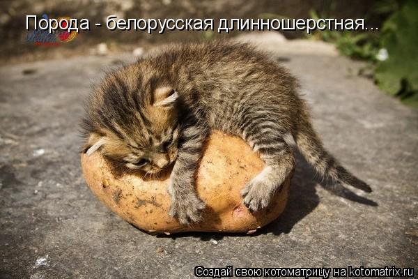 Котоматрица: Порода - белорусская длинношерстная...