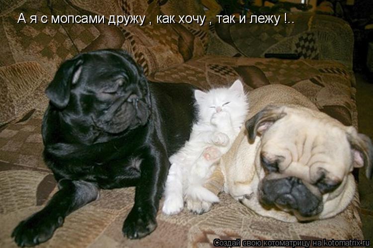 Котоматрица: А я с мопсами дружу , как хочу , так и лежу !..