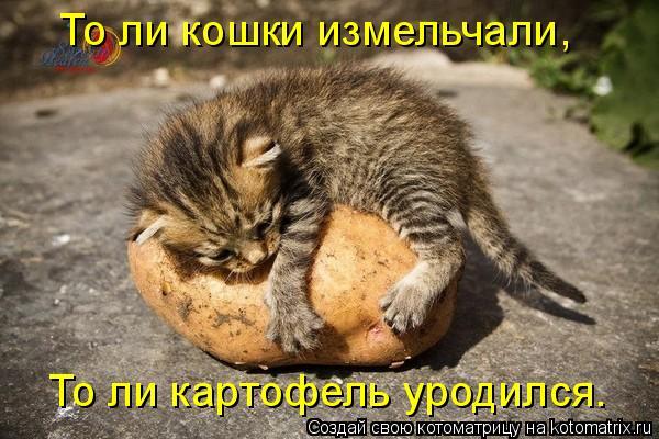 Котоматрица: То ли кошки измельчали, То ли картофель уродился.