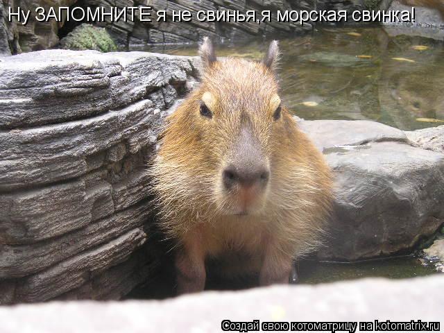 Котоматрица: Ну ЗАПОМНИТЕ я не свинья,я морская свинка!