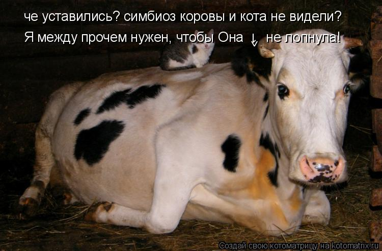 Котоматрица: че уставились? симбиоз коровы и кота не видели? Я между прочем нужен, чтобы Она      не лопнула! 1 >
