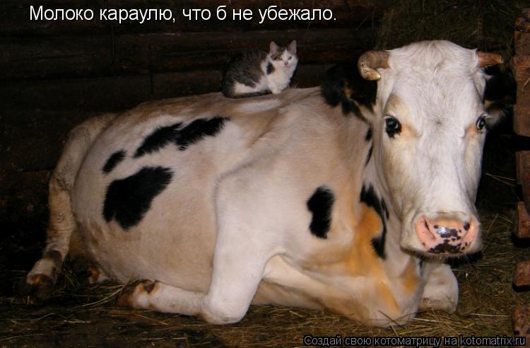 Котоматрица: Молоко караулю, что б не убежало.