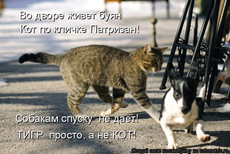 Котоматрица: Во дворе живет буян Кот по кличке Патризан! ТИГР  просто, а не КОТ! Собакам спуску  не дает!