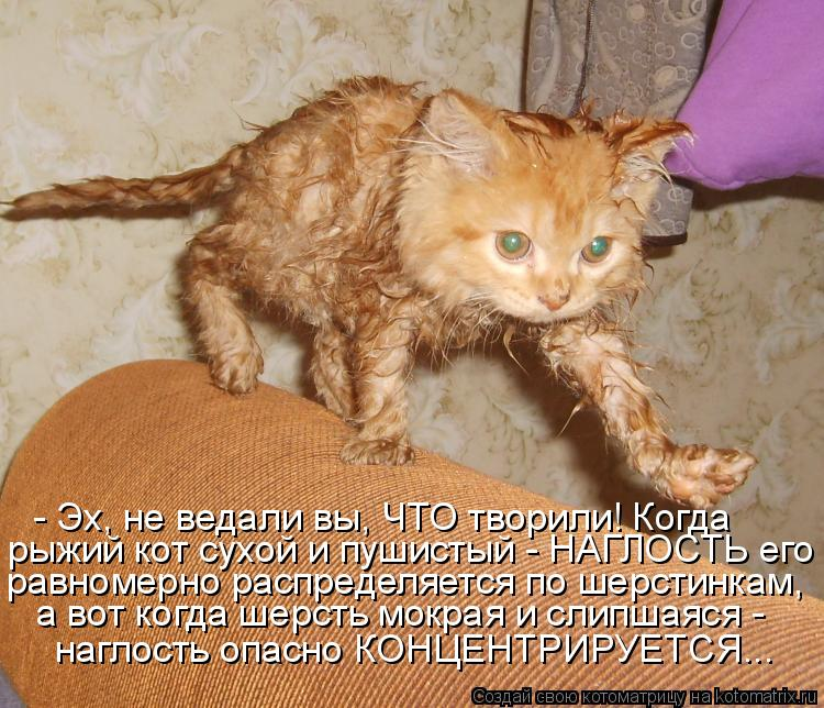 Котоматрица: - Эх, не ведали вы, ЧТО творили! Когда рыжий кот сухой и пушистый - НАГЛОСТЬ его равномерно распределяется по шерстинкам,  а вот когда шерсть м
