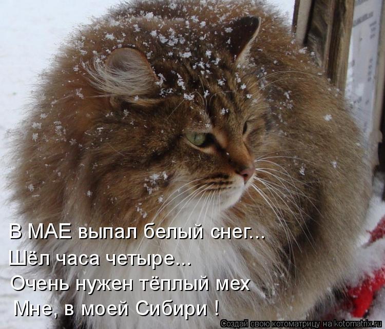 Котоматрица: В МАЕ выпал белый снег... Шёл часа четыре... Очень нужен тёплый мех Мне, в моей Сибири !