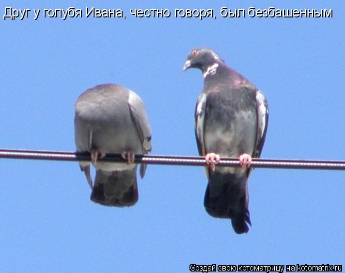 Котоматрица: Друг у голубя Ивана, честно говоря, был безбашенным