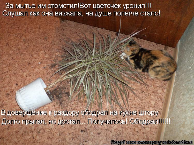 Котоматрица: За мытье им отомстил!Вот цветочек уронил!!! Слушал как она визжала, на душе полегче стало! В довершение к раздору ободрал на кухне штору.  Дол