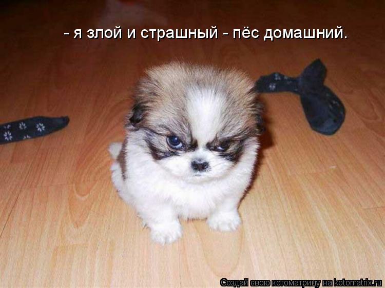 Котоматрица: - я злой и страшный - пёс домашний.
