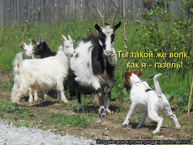 Котоматрица: - Ты такой же волк,  как я - газель!