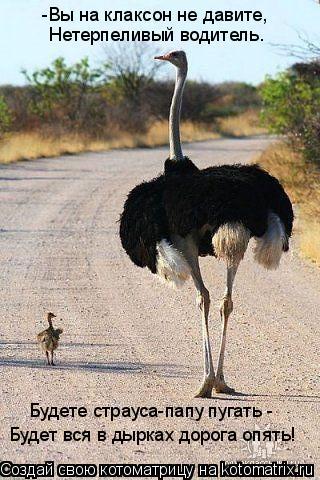 Котоматрица: -Вы на клаксон не давите, Нетерпеливый водитель. Будете страуса-папу пугать - Будет вся в дырках дорога опять!