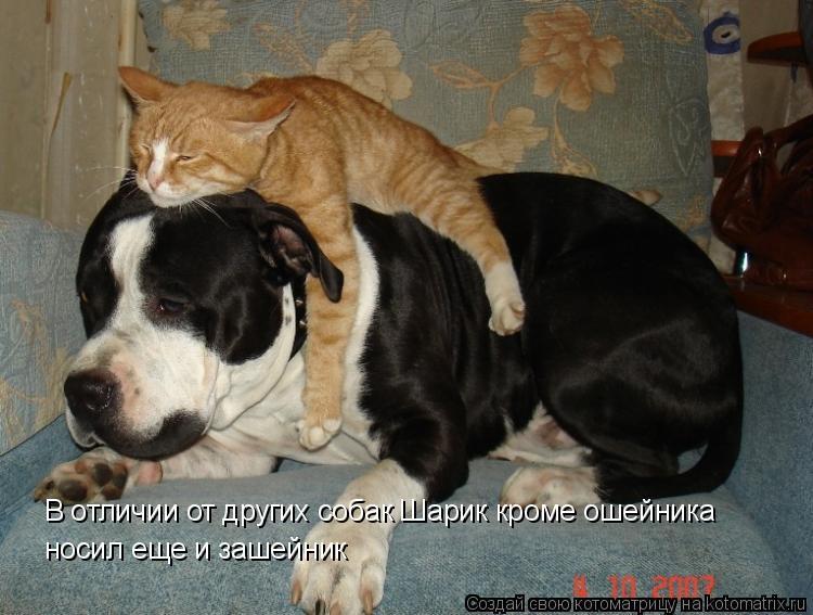 Котоматрица: В отличии от других собак Шарик кроме ошейника носил еще и зашейник