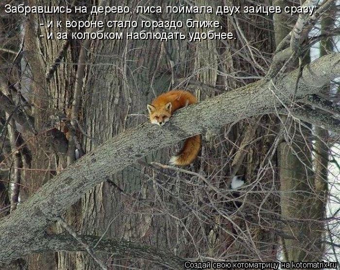 Котоматрица: Забравшись на дерево, лиса поймала двух зайцев сразу: - и к вороне стало гораздо ближе, - и за колобком наблюдать удобнее.