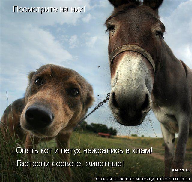 Мы с приятелем одного петуха ищем!!!  Создай свою котоматрицу на kotomatrix.ru,котоматрица,auto. котоматрица,auto.