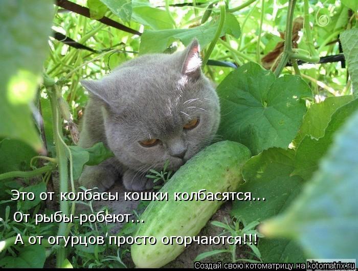 Котоматрица - Это от колбасы кошки колбасятся... От рыбы-робеют... А от огурцов прос