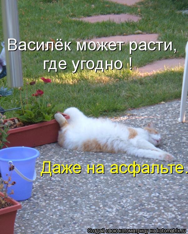 Котоматрица: Василёк может расти, где угодно ! Даже на асфальте.
