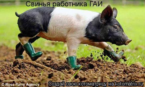 Котоматрица: Свинья работника ГАИ.