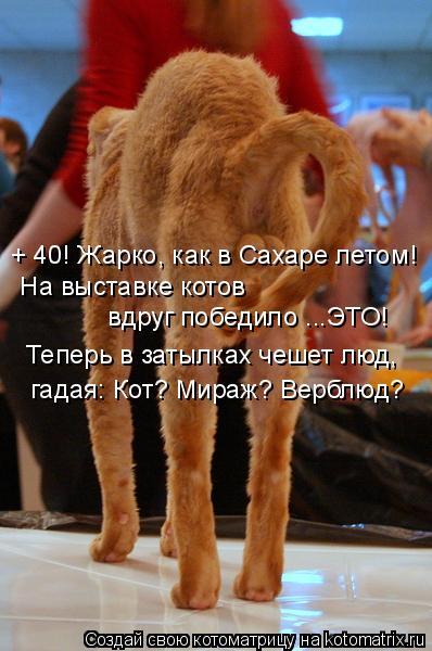 Котоматрица - + 40! Жарко, как в Сахаре летом!  На выставке котов    вдруг победило