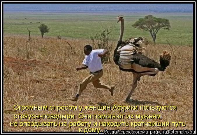 Котоматрица: Огромным спросом у женщин Африки пользуются  страусы-поводыри. Они помогают их мужьям  не опаздывать на работу и находить кратчайший путь