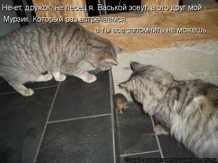 Котоматрица: Не-ет, дружок, не песец я. Васькой зовут, а это друг мой - Мурзик. Который раз встречаемся,  а ты все запомнить не можешь.