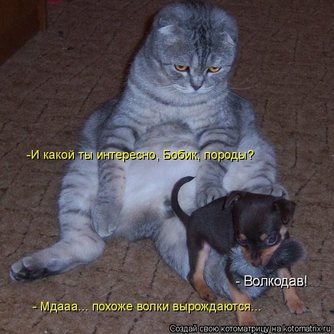 Котоматрица: -И какой ты интересно, Бобик, породы? - Волкодав! - Волкодав! - Мдааа... похоже волки вырождаются...