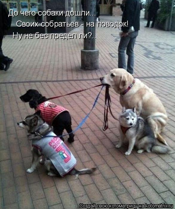 Котоматрица: До чего собаки дошли...  Своих собратьев - на поводок!  Ну не бес предел ли?..