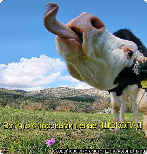 Котоматрица: Вот что с коровами делает ШОКОЛАД