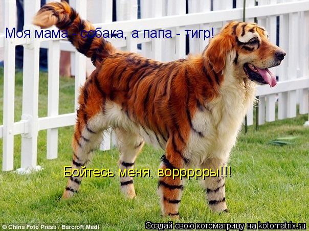 Котоматрица: Моя мама - собака, а папа - тигр! Бойтесь меня, воррррры!!!