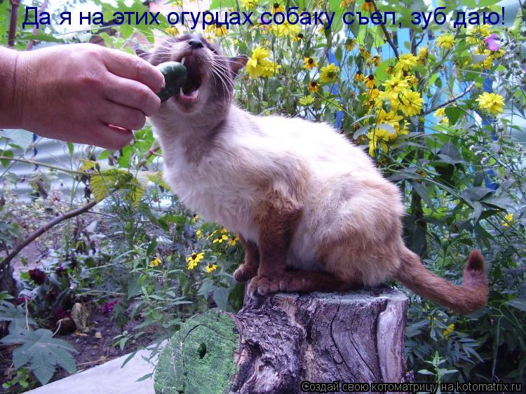 Котоматрица: Да я на этих огурцах собаку съел, зуб даю!
